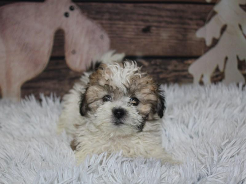 Bichapoo-Female-Tri-2934917-Pet City Houston