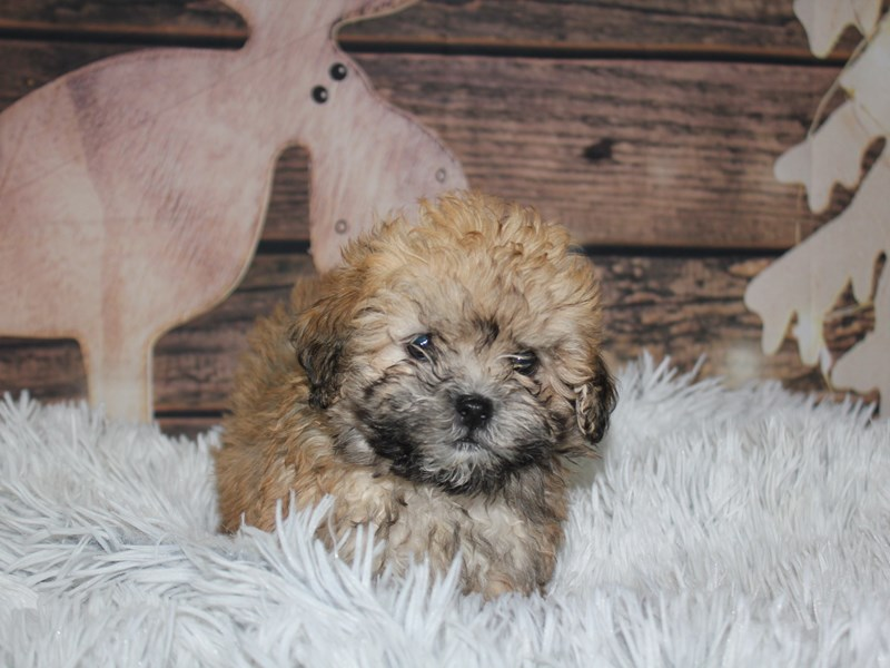 Bichapoo-Female-Fawn-2934922-Pet City Houston