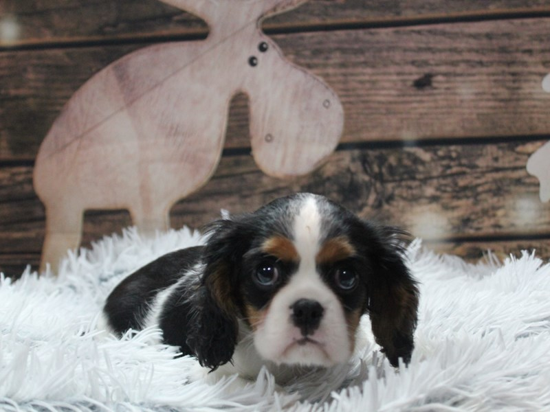 Cavalier King Charles Spaniel-Female-TRI-2924874-Pet City Houston