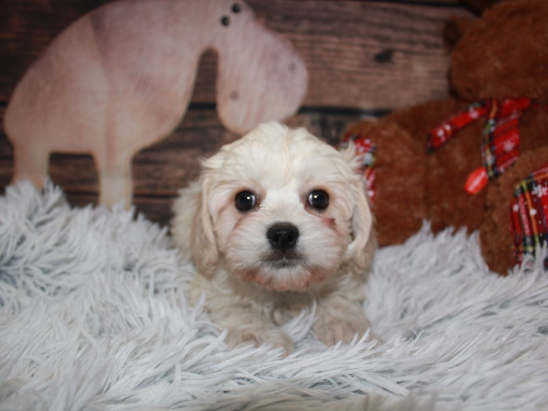 Cavachon-Female-CREAM WHT MKGS-2941373-Pet City Houston
