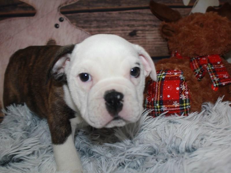 Boston Bulldog – 990005140134265