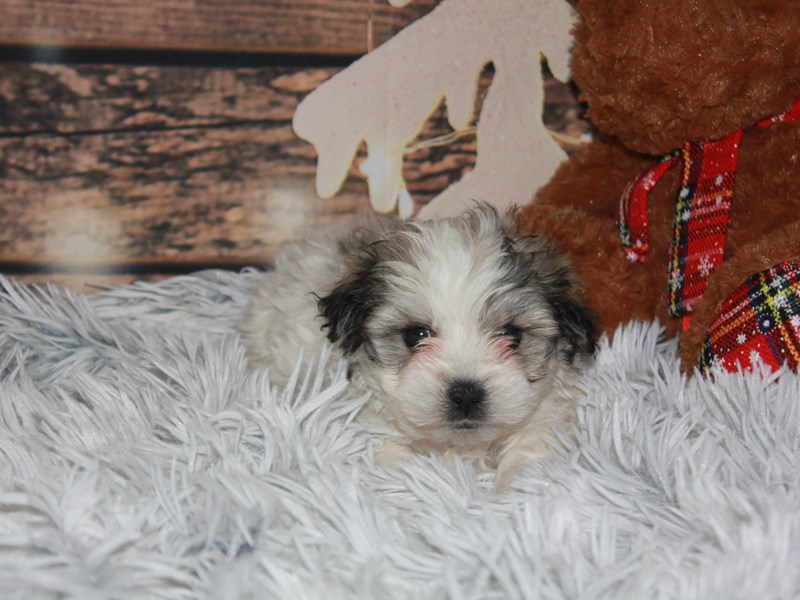 Lhasa Maltese-Male-Tri-2941418-Pet City Houston