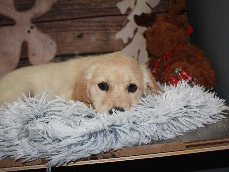Golden Retriever-Female-GOLDEN-2942085-Pet City Houston