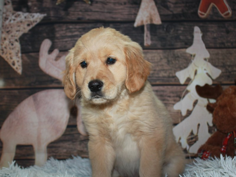 Golden Retriever-Female-GOLDEN-2942058-Pet City Houston