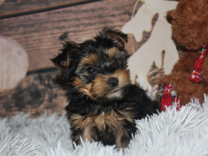 Yorkshire Terrier-Male-BLK/TAN-2941426-Pet City Houston