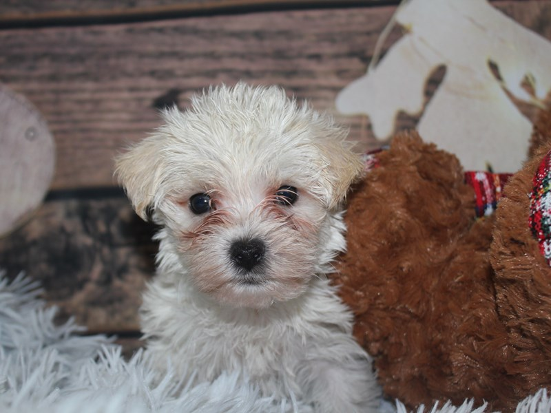 Morkie-Male-White-2941512-Pet City Houston