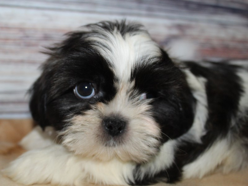 Shih Tzu-Male-Blk/ Wht-2885047-Pet City Houston