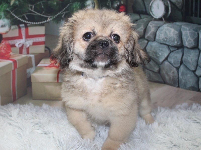 Pekingese-Male-Fawn-2905792-Pet City Houston