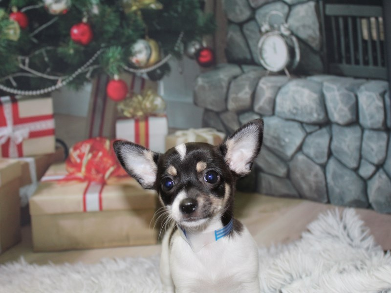 Chihuahua-Male--2906408-Pet City Houston
