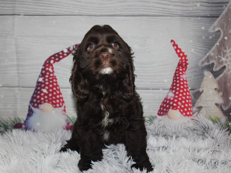 Cocker Spaniel-Male-CHOCOLATE-2912658-Pet City Houston
