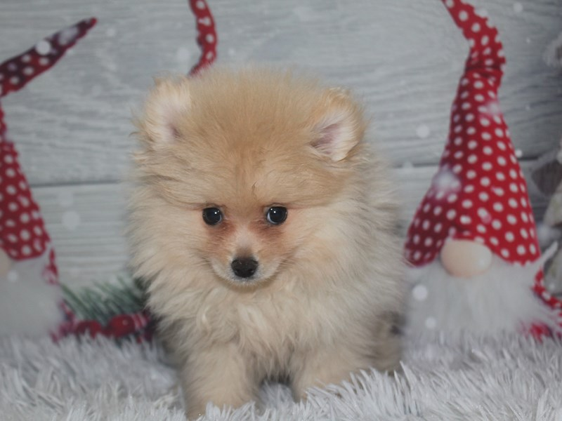 Pomeranian-Male-Cream-2918811-Pet City Houston