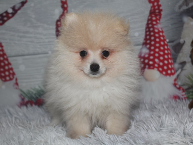 Pomeranian-Male-Cream-2918808-Pet City Houston