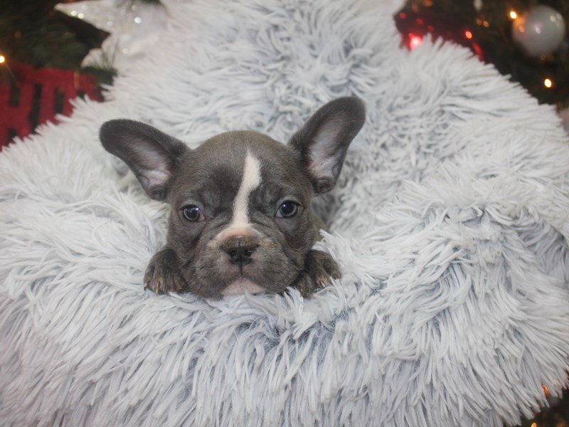 French Bulldog-Male-BLUE-2926366-Pet City Houston