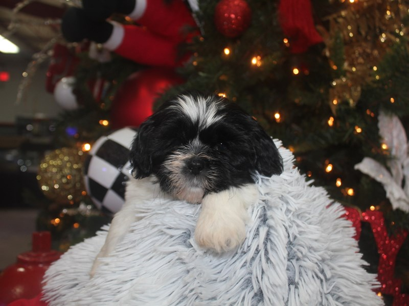 Shih Tzu-Male-BLK / WHT-2926374-Pet City Houston