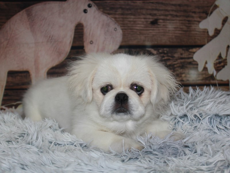 Pekingese-Male-CREAM-2854363-Pet City Houston