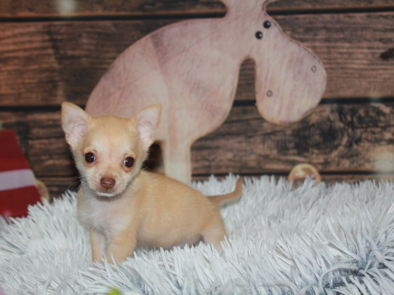 Chihuahua-Male-Fawn-2933123-Pet City Houston