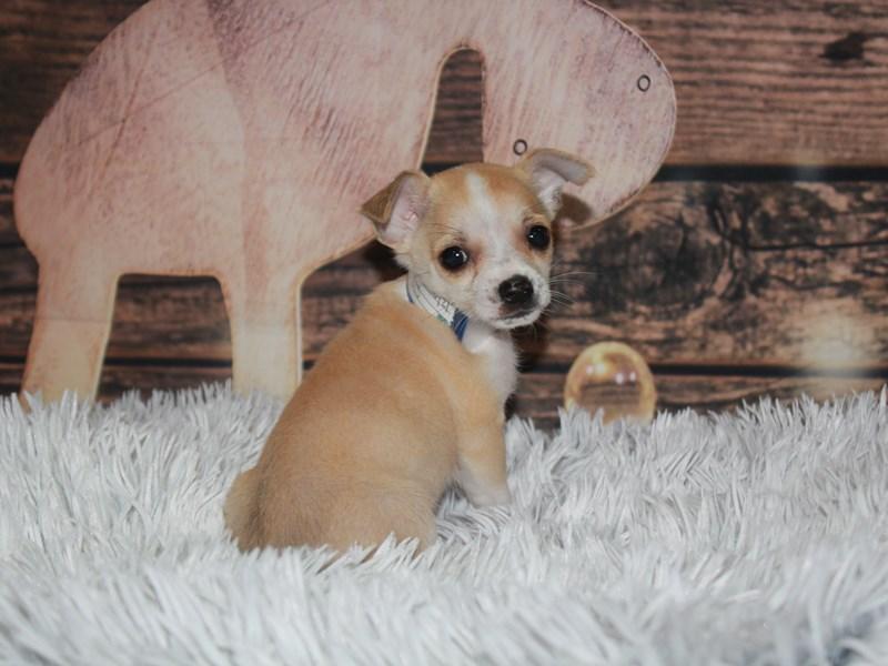 Chihuahua-Male-Fawn/ White-2933124-Pet City Houston
