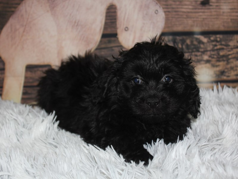 Lhasa Poo-Male-Black-2934882-Pet City Houston