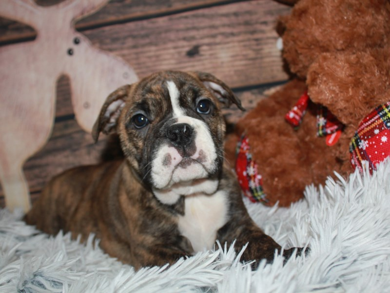 Boston Bulldog-Female-BRINDLE-2942141-Pet City Houston