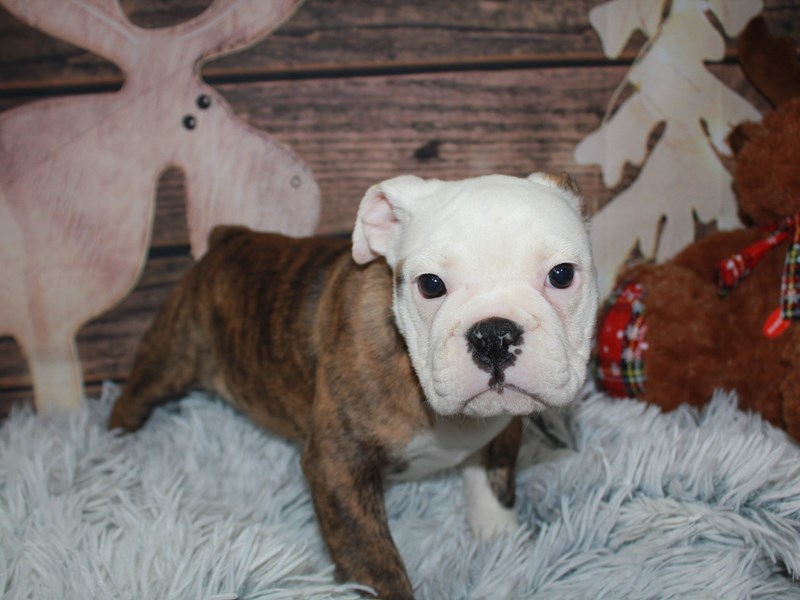 Boston Bulldog-Female-BRINDLE/WHITE-2942097-Pet City Houston