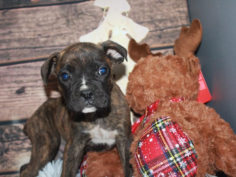 Boxer-Male-Brindle/Wht-2941615-Pet City Houston