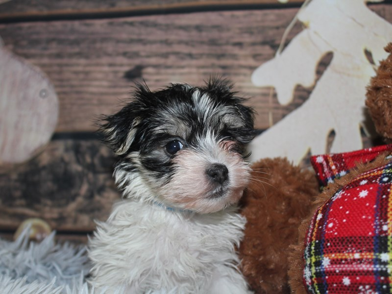 Morkie-Male-Blk/Wht-2941508-Pet City Houston