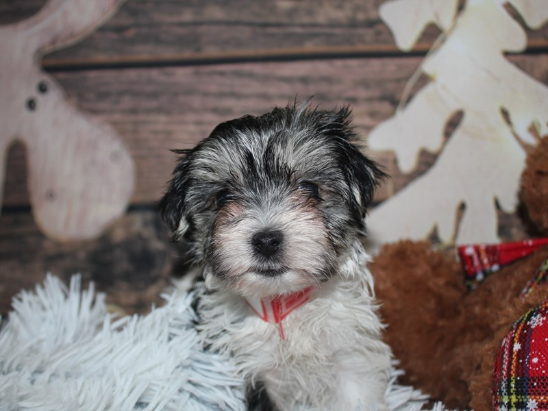 Morkie-Female-Blk/Wht-2941503-Pet City Houston