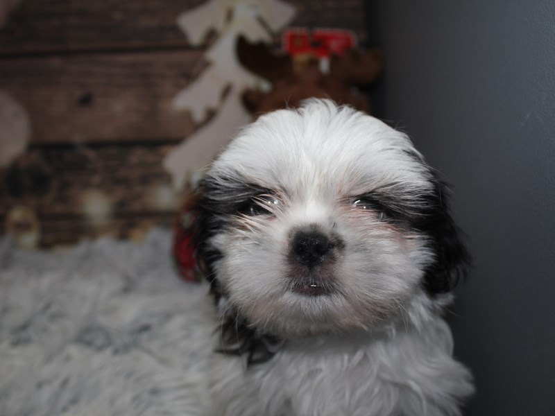 Shih Tzu-Male-Blk/wht-2941552-Pet City Houston