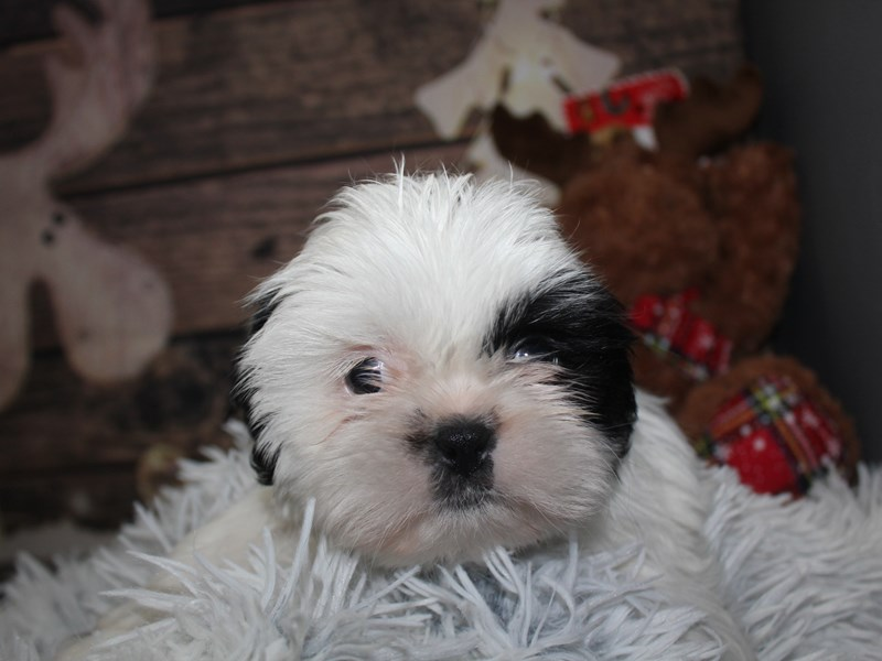 Shih Tzu-Male-Blk/wht-2941555-Pet City Houston