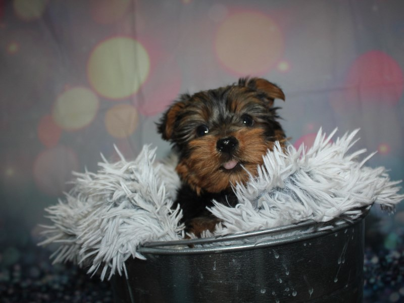 Yorkshire Terrier-Male-BLK/TAN-2947675-Pet City Houston