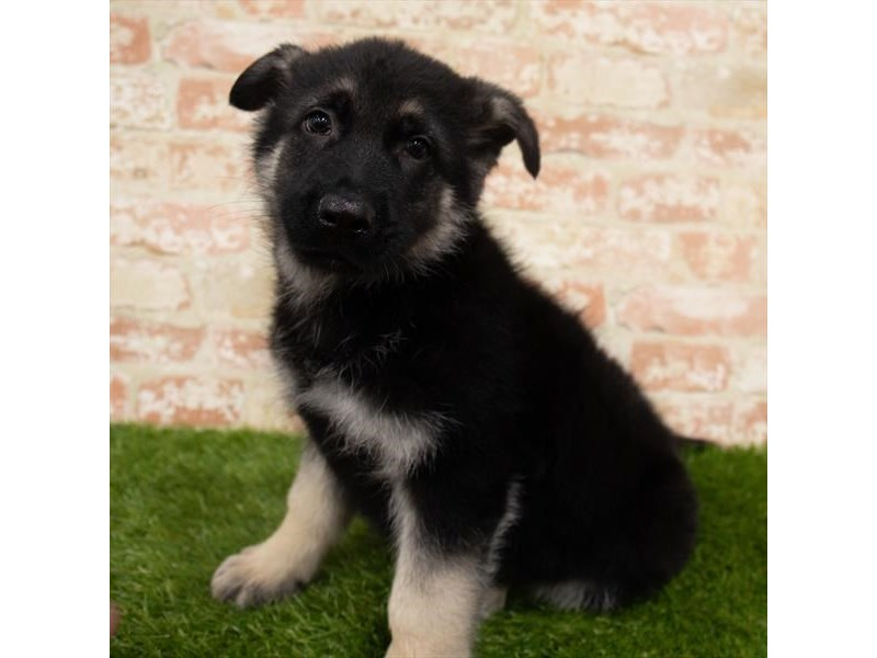 German Shepherd Dog-Male-Black / Tan-2955259-Pet City Houston