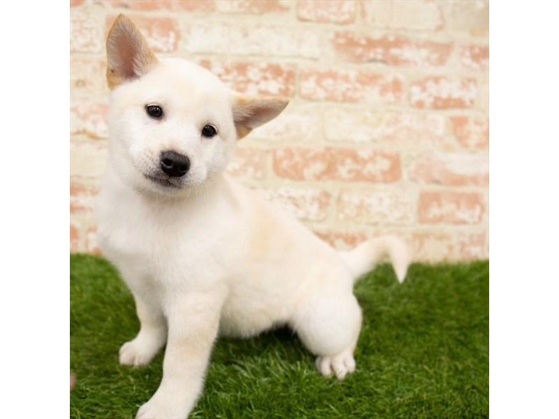 Shiba Inu-Male-Cream-2955260-Pet City Houston