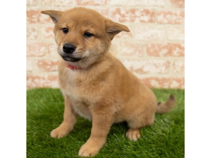 Shiba Inu-Male-Red-2955264-Pet City Houston