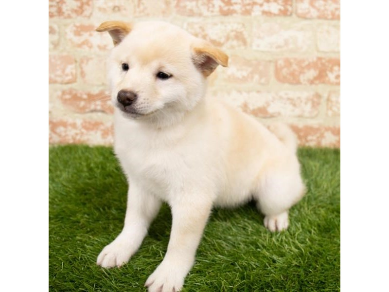 Shiba Inu-Male-Cream-2955265-Pet City Houston