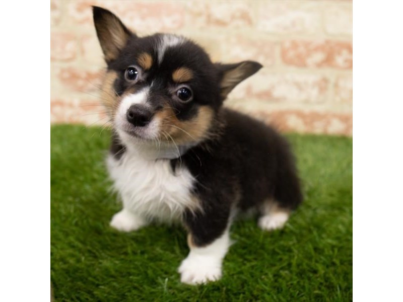 Pembroke Welsh Corgi-Male-Black White / Tan-2955280-Pet City Houston