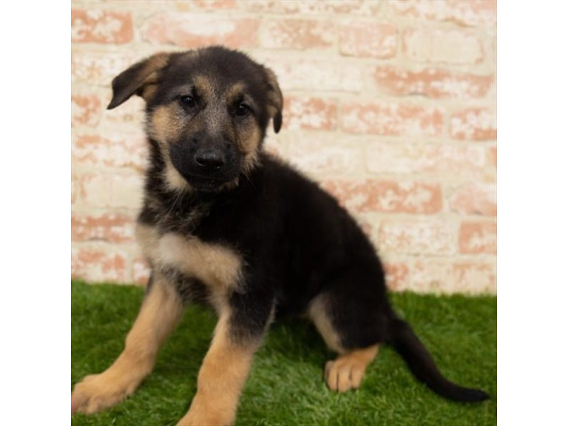 German Shepherd Dog-Female-Black / Tan-2955281-Pet City Houston