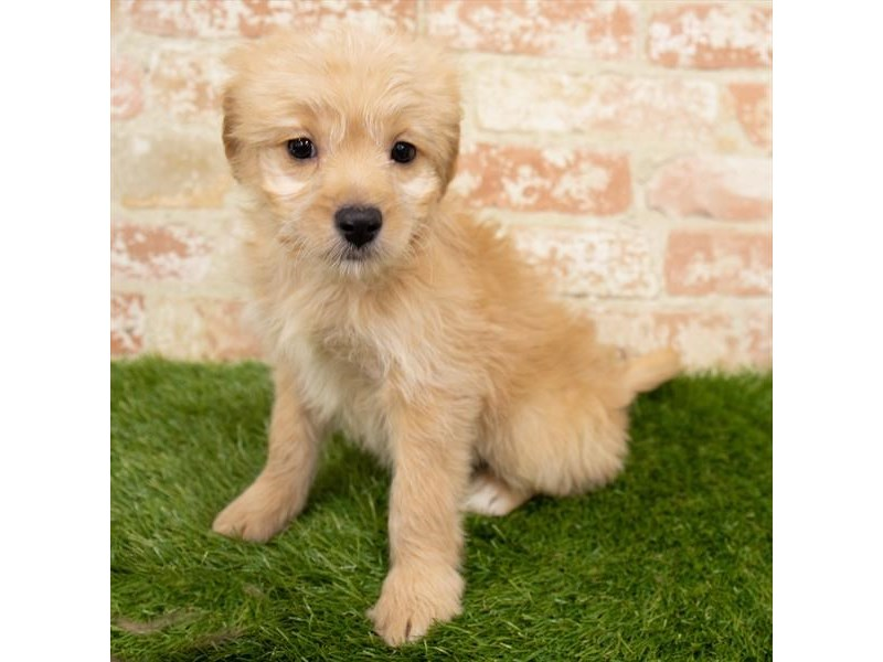 Goldendoodle-Female-Golden-2955285-Pet City Houston