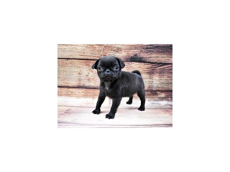 Pug-Female-Black-2956266-Pet City Houston