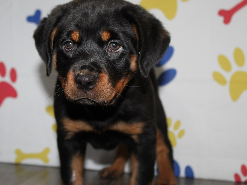 Rottweiler-Female-Black / Tan-2955292-Pet City Houston