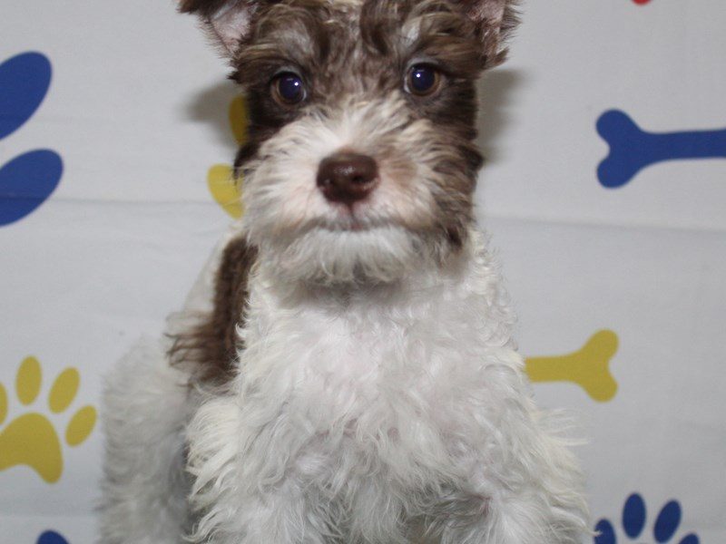 Miniature Schnauzer-Male-Brown & White Parti-2957091-Pet City Houston