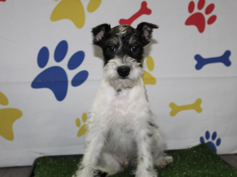 Miniature Schnauzer-Male-Black & White Parti-2957065-Pet City Houston