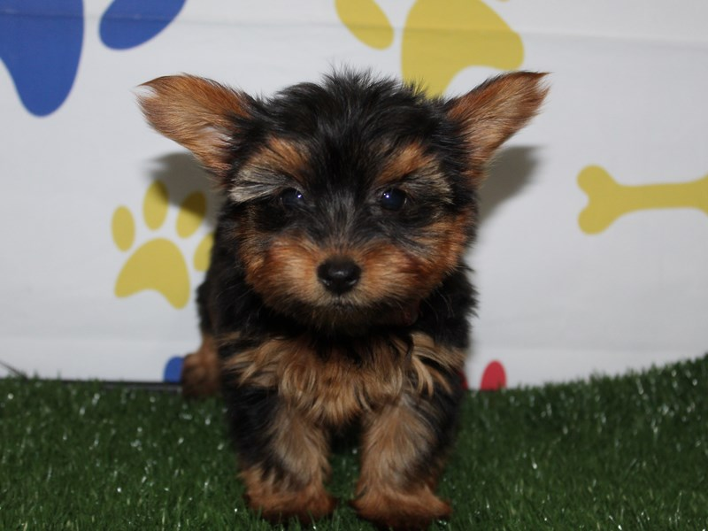 Yorkshire Terrier-Female-Blk/Tan-2956811-Pet City Houston