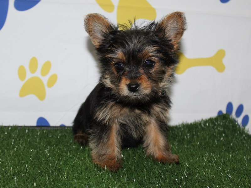 Yorkshire Terrier-Female-Blk/Tan-2956813-Pet City Houston