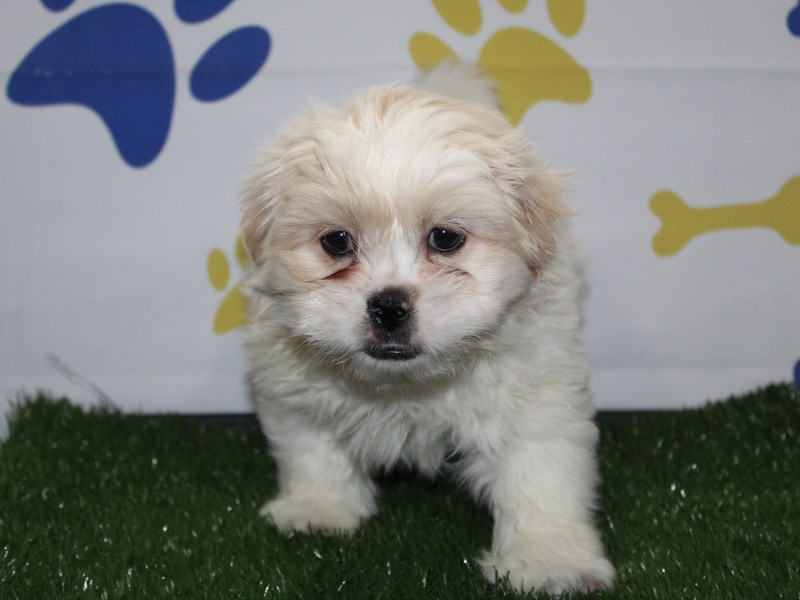 Shinese-Male-Cream-2956798-Pet City Houston