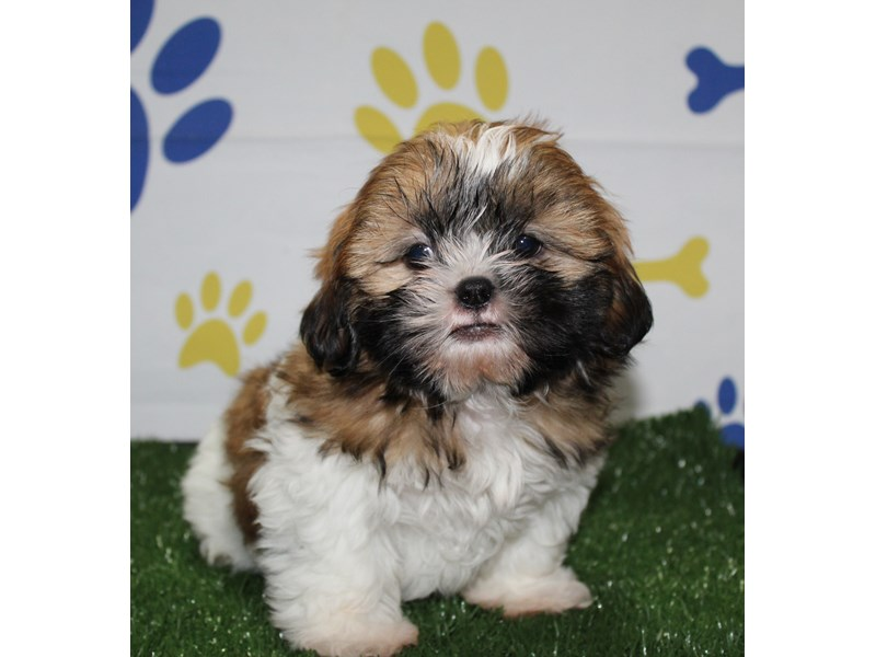 Shih Tzu-Male-Brown / White-2956818-Pet City Houston