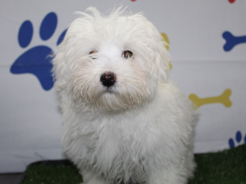 Maltese-Male-WHITE-2957926-Pet City Houston