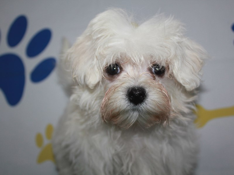 Maltese-Female-WHITE-2957934-Pet City Houston