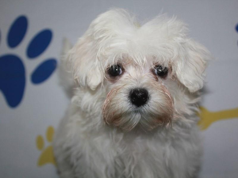 Maltese-Female-WHITE-2957934-Pet City Houston