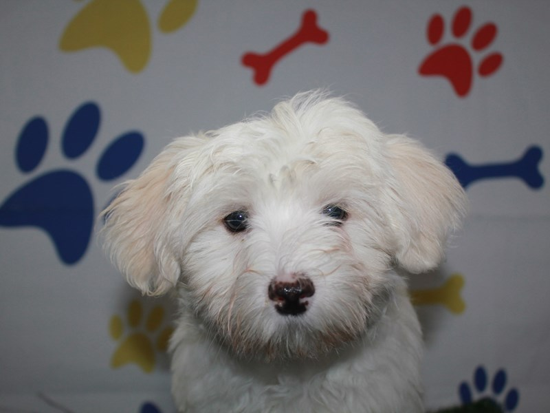 Maltese-Male-WHITE-2957976-Pet City Houston