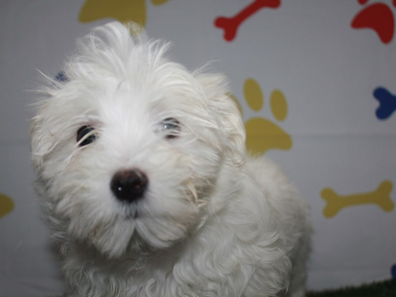 Maltese-Male-WHITE-2957979-Pet City Houston